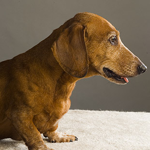 Watch a video about A Dachshund's Wish